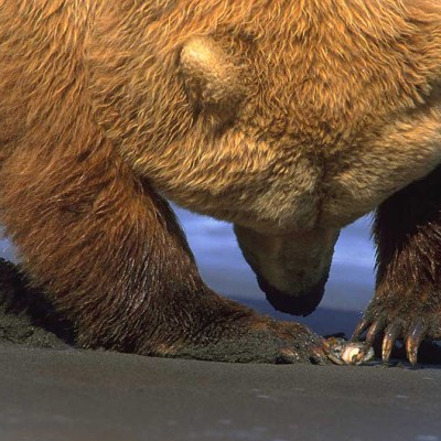 <h2>Delicate power</h2><p>This mature grizzly bear female is delicately using one or two claws to open the clam she dug.</p>