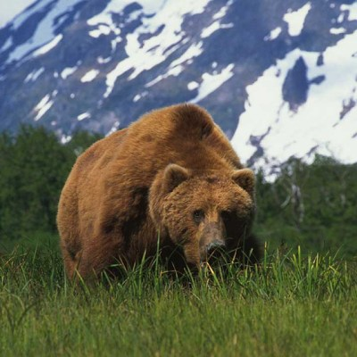 <h2>A mountain of a bear</h2><p>Today, the largest brown/grizzly bears are no longer found on Kodiak Island where many have been killed. They are on the protected mainland in Katmai National Park, which is part of the largest grizzly protection area in the world.</p>