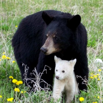 black_bear_with_white_cub.jpg