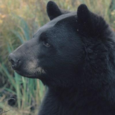 alert_bear_at_vinces.jpg