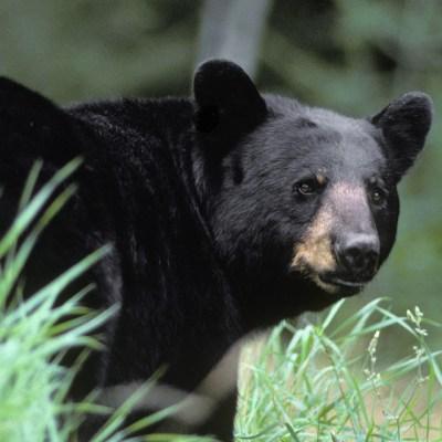 bear_812_looking_back.jpg