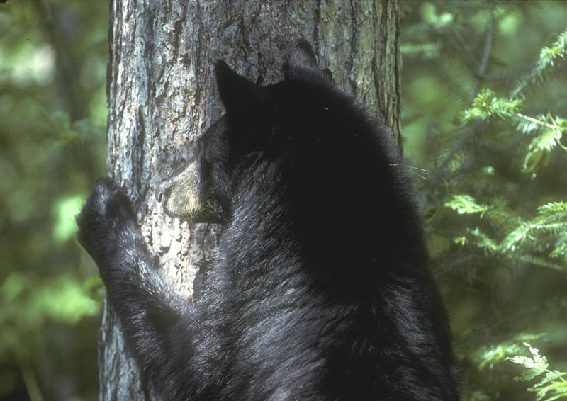 bear_ready_to_climb_tree.jpg