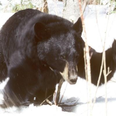 blustery_bear.jpg