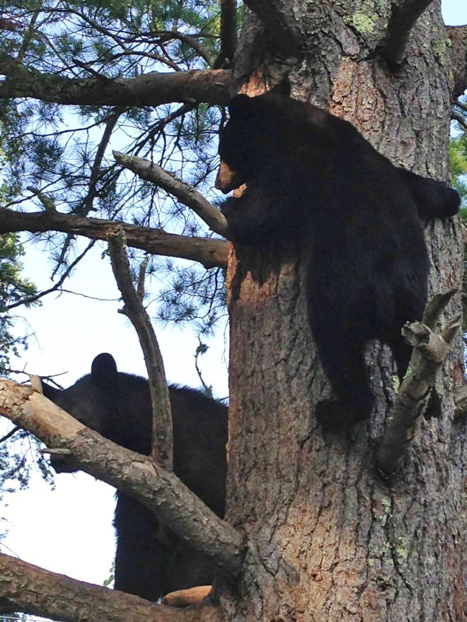Holly and Lucky in white pine cub tree