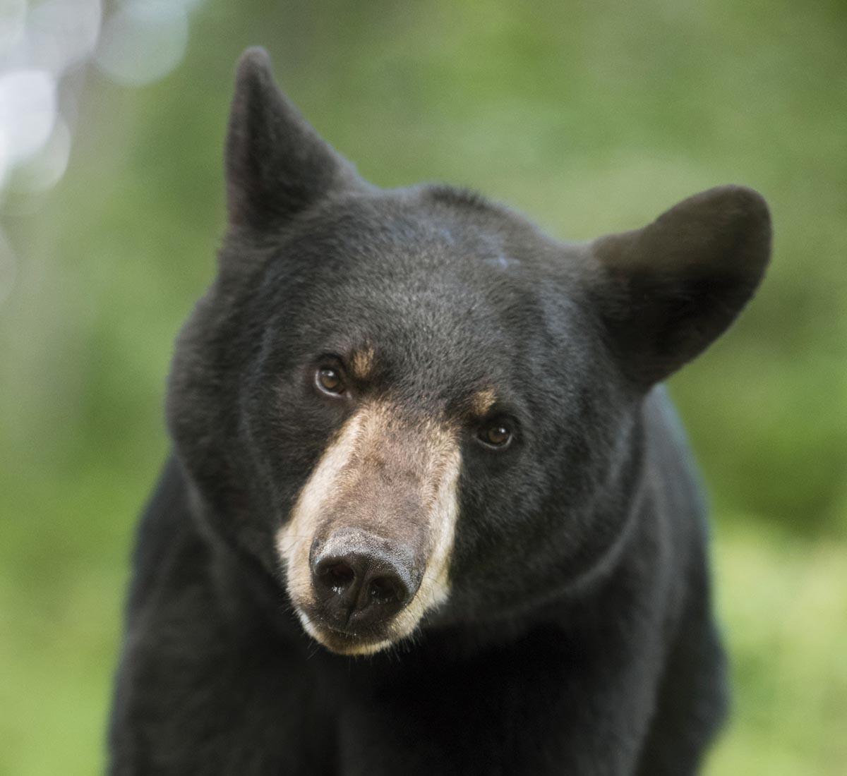myth black bears stink