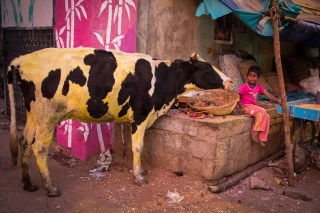 Cows really are everywhere!