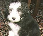 Blue Puppy