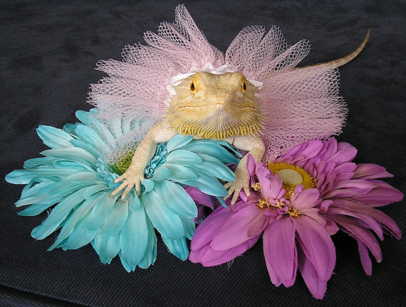 bearded dragon tutu