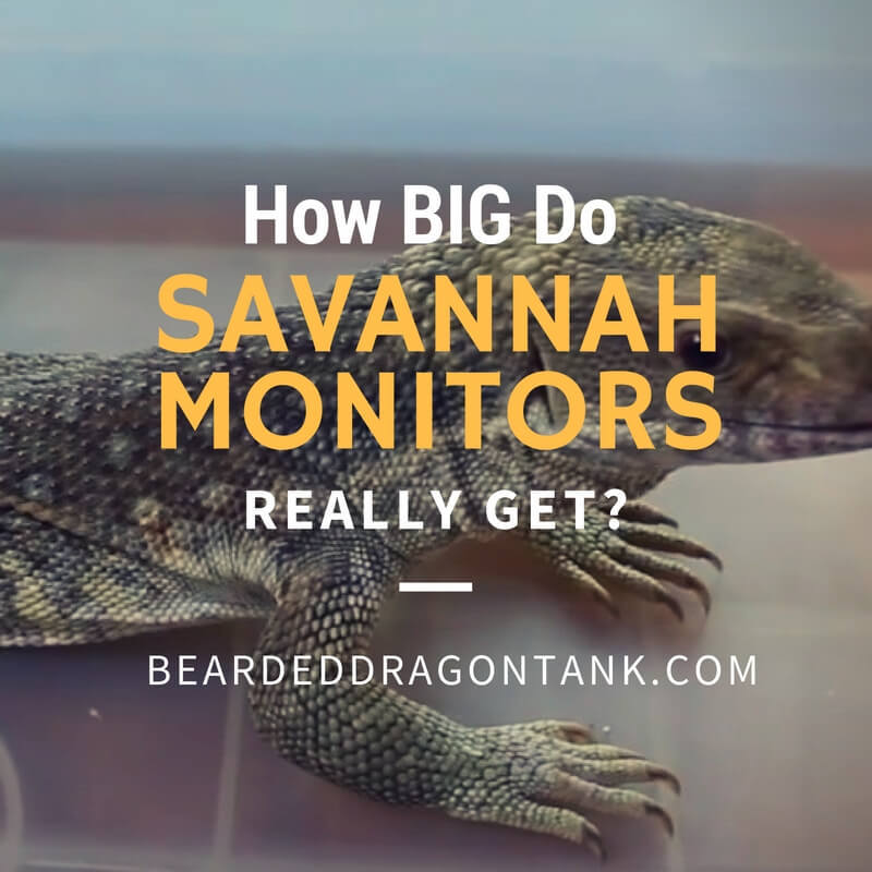 How Big Do Savannah Monitors Get