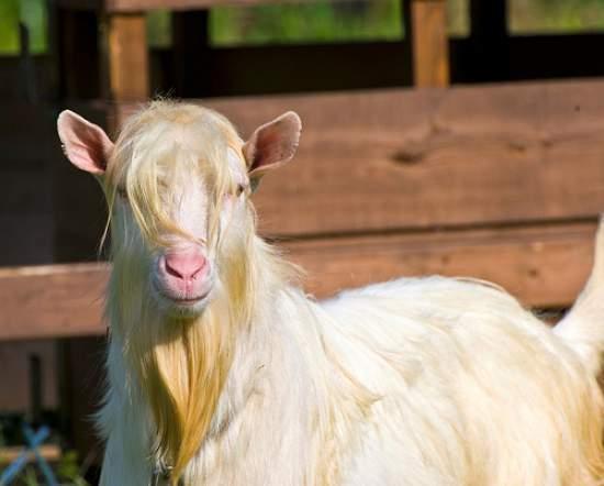 billy goat beard