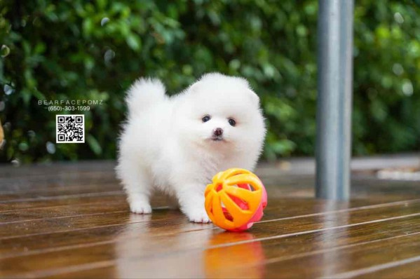 white-pomeranian-puppy-for-sale-teacup-puppies