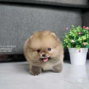 brown pomeranian