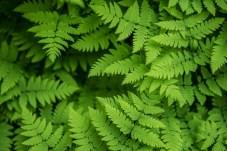 Lush fern foliage