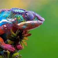 Gaudí Chameleon