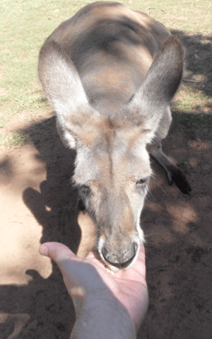 Kangaroo-being-fed-Bearman-