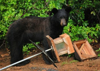Image result for how to maintain black bears in the wild