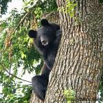 Asiatic Black bear b Wild