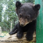 Asiatic Black bear d Wild