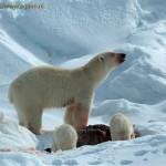 Polar bearcubs Roy de Haa