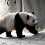 giant panda cfreegiantpand