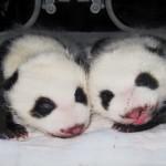 giant panda e freegiantpand