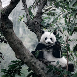 panda on tree © shejian - Fotolia.fr