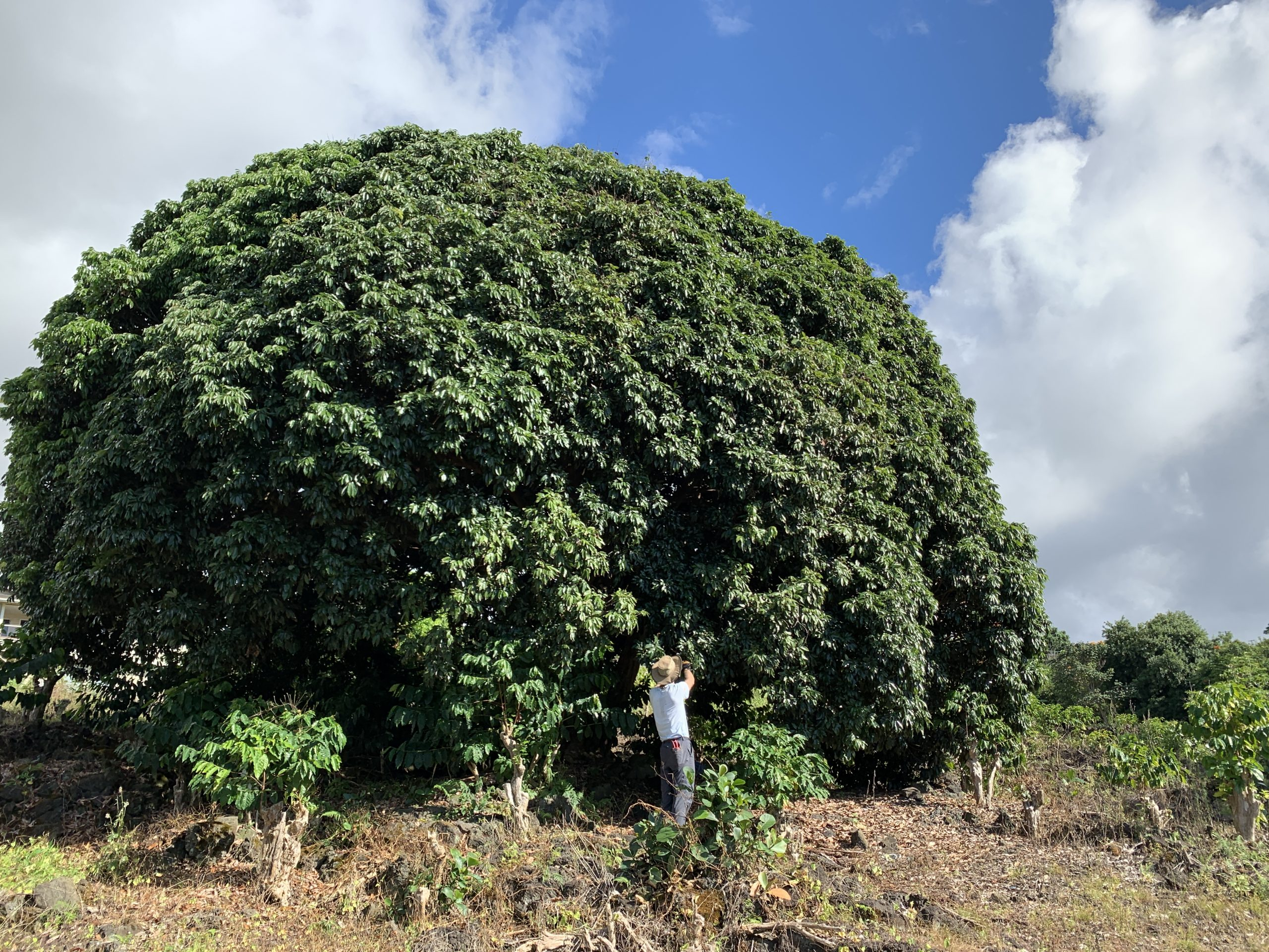 Large lychee tree.