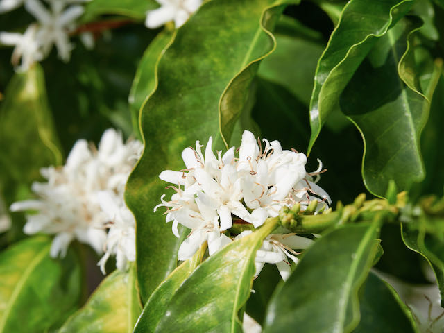 closeup Kona coffee blossoms