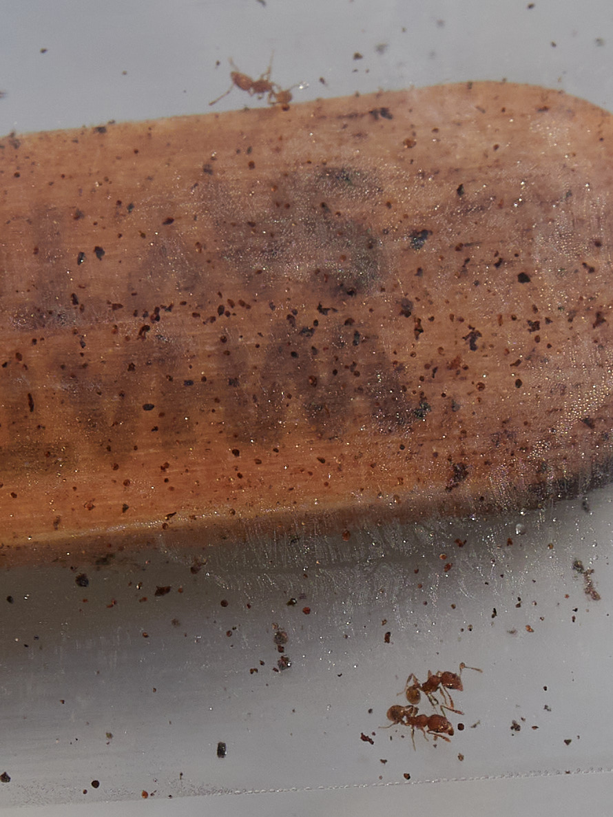 Result of little fire ant peanut butter popsicle stick test