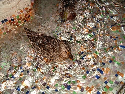 The Peabody Ducks, up close!