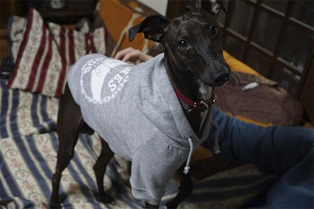 ブログ「イタグレゴンのさんぽのさっ!」のゴンくんにパーカーを着用いただきました。