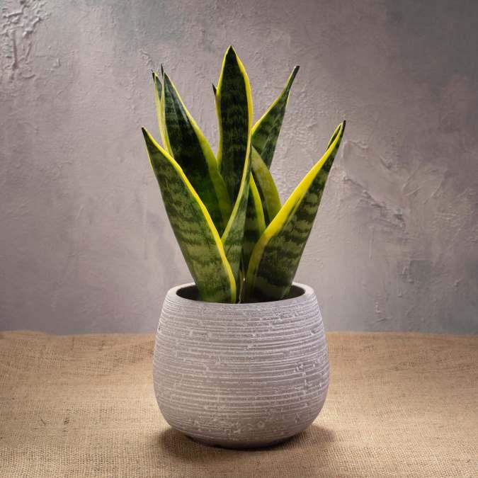 Sanseveria Trifasciata in Round Cement Vase