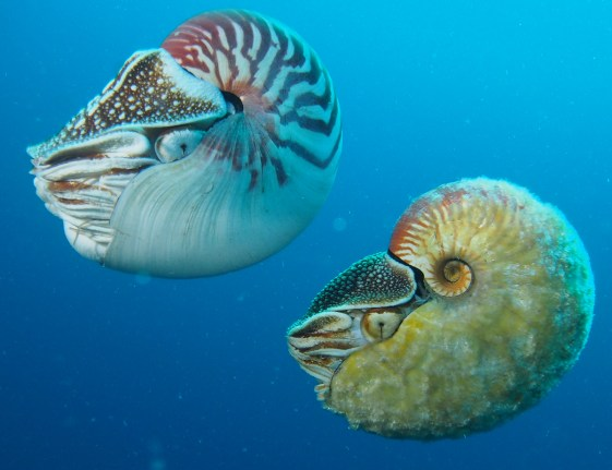 nautilus-and-allonautilus