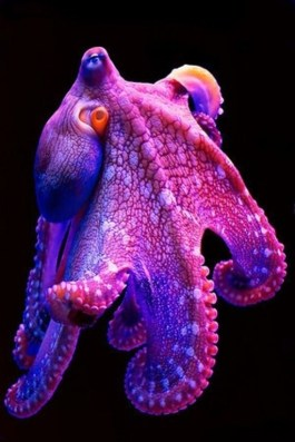 hawaiian-octopus.jpg