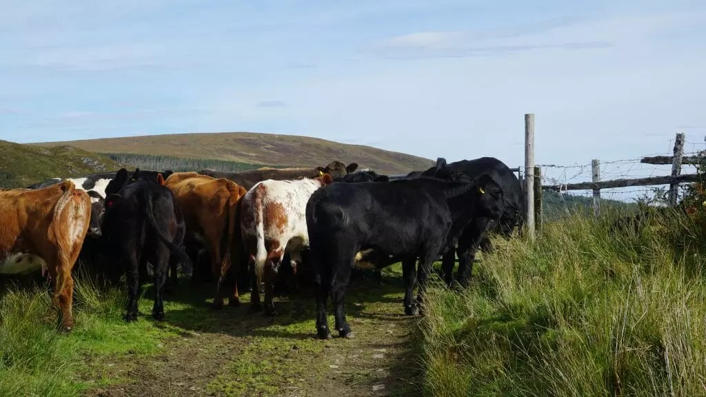 Cape Wrath Trail Cow Traffic