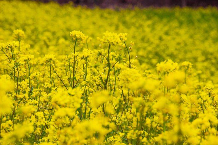 中山高原の菜の花