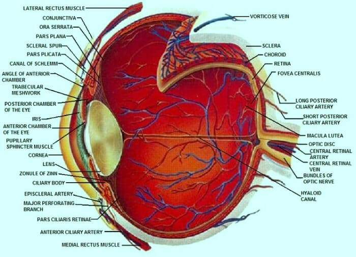 Detailed Diagrams Of The Eye And Its Components Beaumont Vision