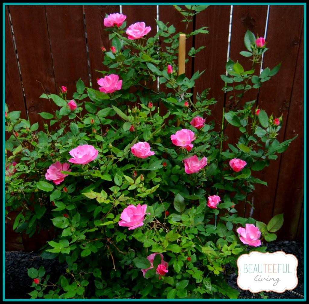 pinkrosebush