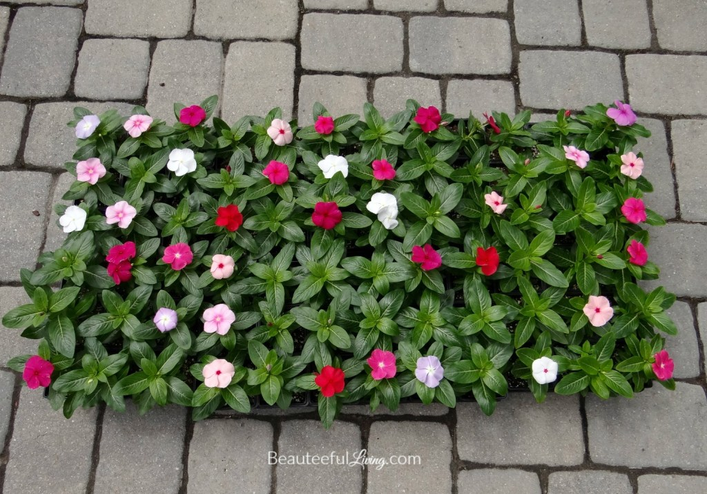 Flowering Vincas