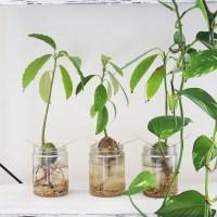 How To Grow Avocado Plants From Eaten Avo's!