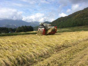 img 4712 300x225 - 新潟県湯沢町で稲刈りに挑戦
