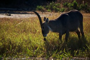 Waterbuck-they like the water hyacinths that grow on the river...hence their name!