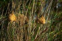 Brown throated Weaver bird nests
