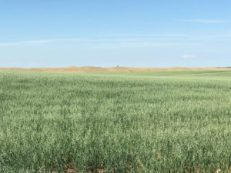 An oat field in Dunn County.
