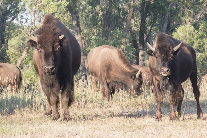 Two young bison, one with a broken horn