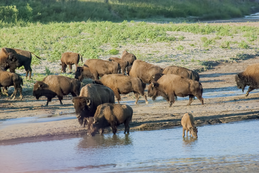 Bison herd drinks, young bison calf drinks from the Little Missouri River.