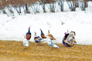 domestic and wild turkeys in McLean County