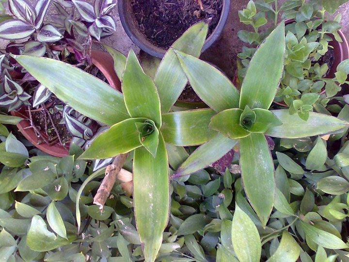 Callisia  Frangrans ha foglie cerose disposte in modo alternato al fusto, avvolgenti alla base sino a formare delle rosette dif oglie