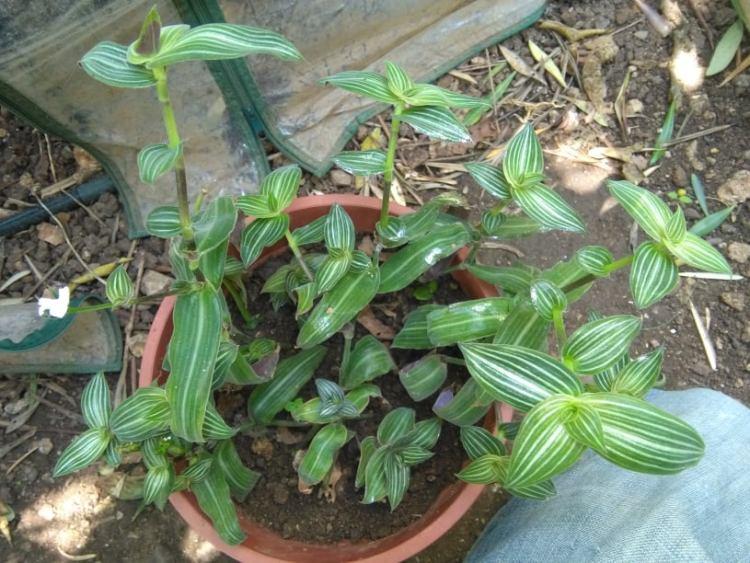 La Callisia elegans è la specie più diffusa con fusti striscianti succulenti, ricoperti con foglie ovali appuntite di coore verde oliva con nervature biance