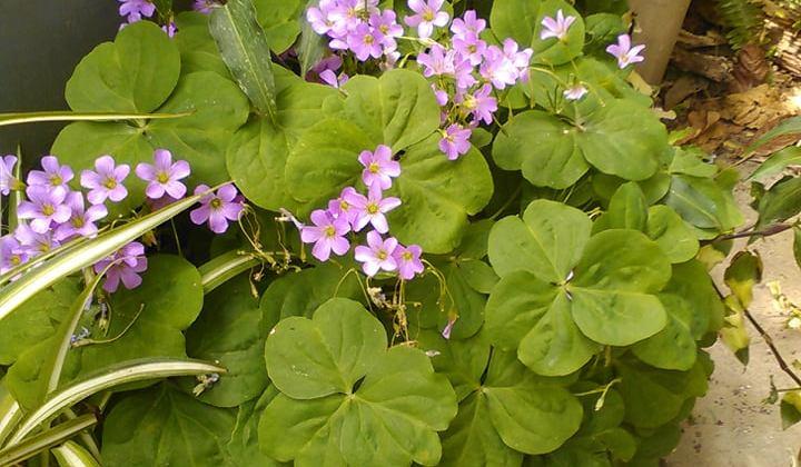 L'Oxalis rizomantosa fiorisce rosa che sbocciano dalla primavera il picco delle fioritura si ha tra aprile e maggio
